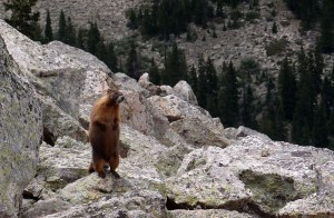 Maybe a marmot? It would be fun living in the mountains.